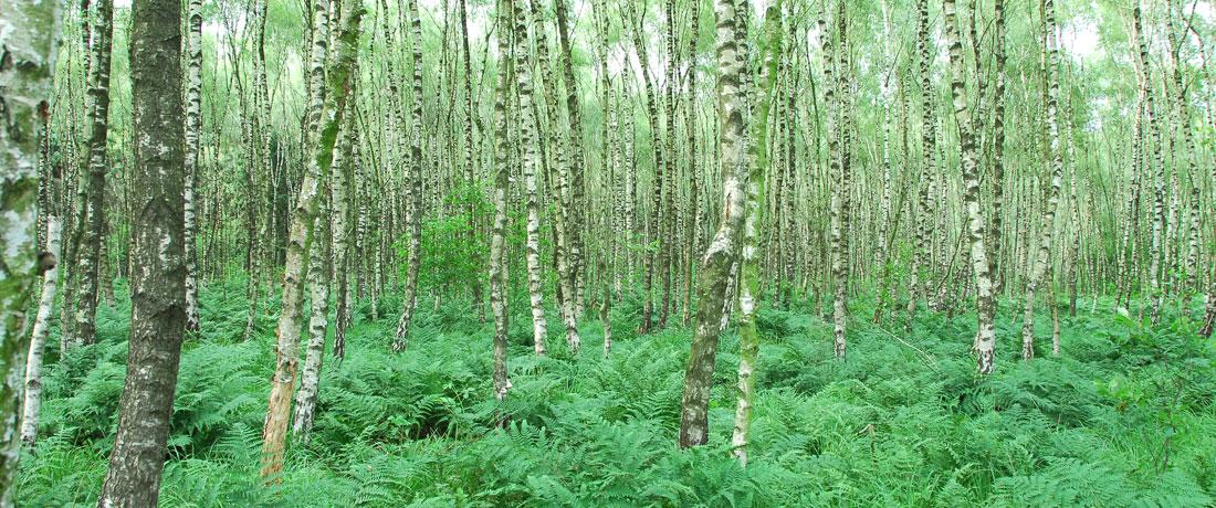 02-birkenwald-fit-fuer-den-klimawandel